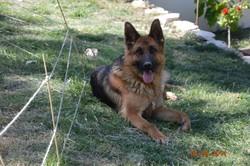 Hoska Du Domaine Des Adelys, chien Berger allemand