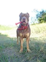 Hoslo, chien Dogue de Bordeaux