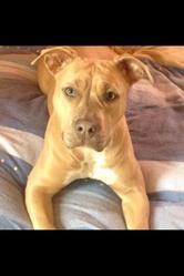 Hossana, chien American Staffordshire Terrier