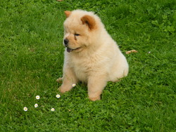 Hoto, chien Chow-Chow