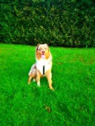 Hottis, chien Berger australien
