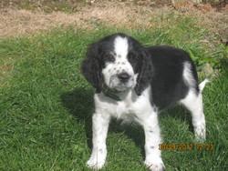 Houba, chien Springer anglais