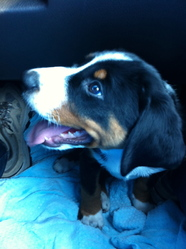 Houba, chien Bouvier d'Appenzell