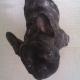 Houba-Houba, chien Bouledogue français