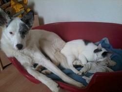 Houchka, chien Border Collie