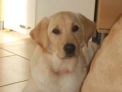 Houchka, chien Labrador Retriever