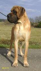 Hougoom , chien Dogue allemand
