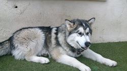 Houmak, chien Malamute de l'Alaska