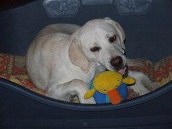 Houmak, chien Labrador Retriever