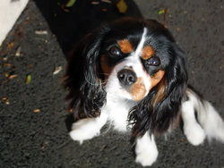 Houpette, chien Cavalier King Charles Spaniel