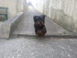 Houpette , chien Yorkshire Terrier