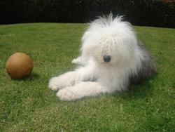 Houpette, chien Bobtail