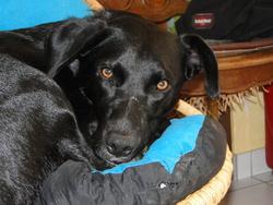 Houps, chien Labrador Retriever
