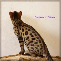 Hourasi Du Chitwan, chat Bengal