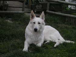 Hourria, chien Berger blanc suisse