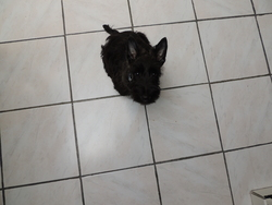 House, chien Scottish Terrier