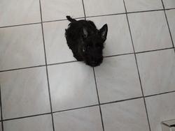 House, chien Scottish Terrier