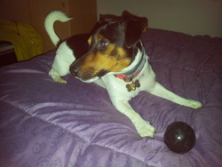 Houston, chien Jack Russell Terrier