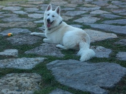 Houston , chien Berger blanc suisse
