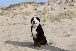 Houston, chien Bouvier bernois