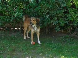 Houzo, chien Berger des Pyrénées