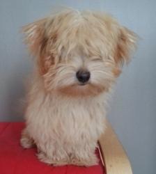 Hoxa, chien Bichon havanais