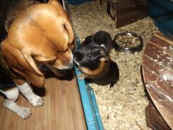 Hoxanne, chien Beagle