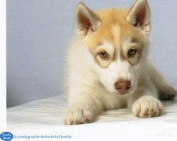 Hoxford, chien Husky sibérien
