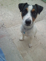 Hoxy, chien Jack Russell Terrier