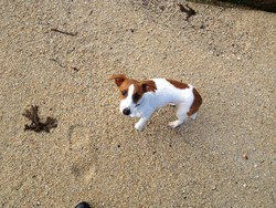 Hoyt, chien Jack Russell Terrier