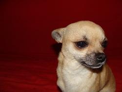 Huahuas , chien Chihuahua