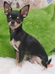 Huahuette, chien Chihuahua