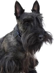 Hubble, chien Scottish Terrier