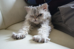 Hubble Sweet Curly Faun'S, chat Selkirk Rex