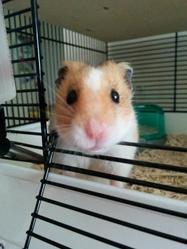 Hubert, rongeur Hamster