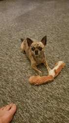 Hubert, chien Chihuahua