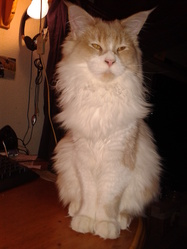 Hubert, chat Maine Coon