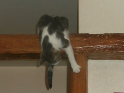 Hubert, chat Européen