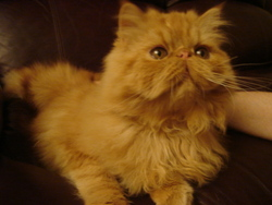 Hubert, chat Persan