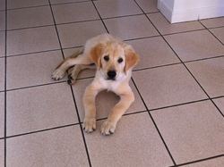 Hudson, chien Golden Retriever