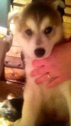 Hudson Black, chien Husky sibérien