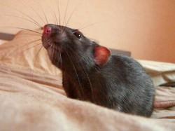 Huggi, rongeur Rat