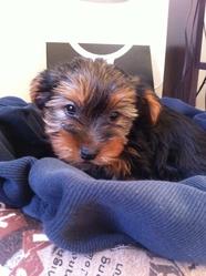 Huggy, chien Yorkshire Terrier