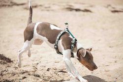 Huggy, chien Terrier brésilien