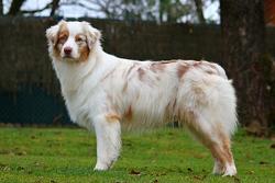 Huggy Bear, chien Berger australien