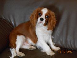 Hugh, chien Cavalier King Charles Spaniel