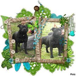 High Fidélity Dit Hayden , chien Staffordshire Bull Terrier