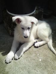 Hugh, chien Berger blanc suisse