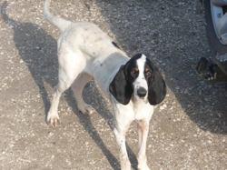 Hugo, chien Grand Gascon saintongeois