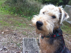 Hugo, chien Welsh Terrier